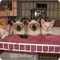 Adopt A Pet :: Cleopatra - Ft. Lauderdale, FL