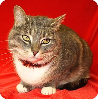Domestic Shorthair Cat for adoption in Jackson, Michigan - Telly