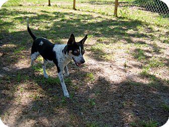 Rat Terrier Mix Dog for adoption in Homosassa, Florida - Oreo