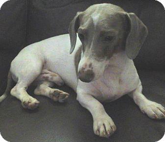 Dachshund Dog for adoption in Georgetown, Kentucky - Hunter