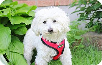 Maltese Dog for adoption in Douglas, Ontario - Daisy