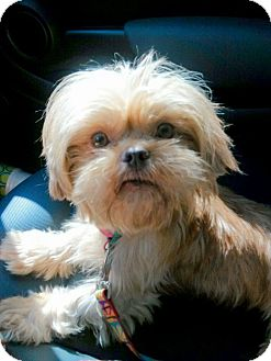 Shih Tzu/Yorkie, Yorkshire Terrier Mix Dog for adoption in Mary Esther, Florida - Toby
