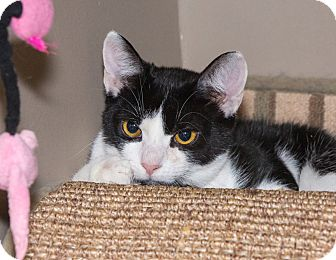 Domestic Shorthair Cat for adoption in Elmwood Park, New Jersey - Kirby