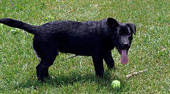 Shar Pei/Labrador Retriever Mix Dog for adoption in Arden, North Carolina - Koa