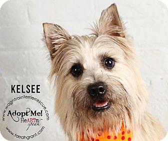 Cairn Terrier Puppy for adoption in Omaha, Nebraska - Kelsee-Pending Adoption