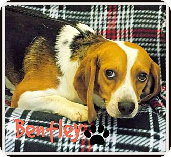 Beagle Dog for adoption in Defiance, Ohio - Bentley