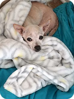 Chihuahua Mix Dog for adoption in Clarksville, Tennessee - Lil Man