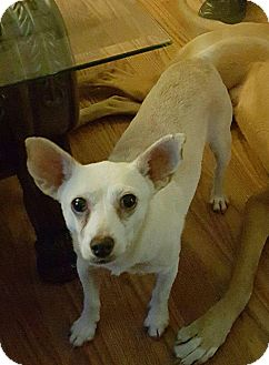 Chihuahua Mix Dog for adoption in Rancho Cucamonga, California - DARBY