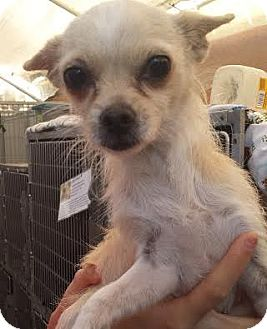 Terrier (Unknown Type, Small)/Chihuahua Mix Dog for adoption in Westminster, California - Leia
