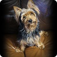 Adopt A Pet :: Gizmo - Rockwall, TX