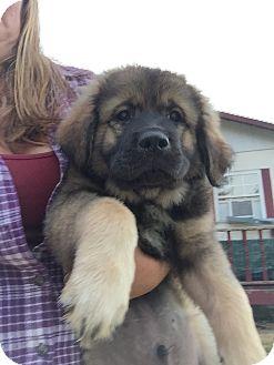 St. Bernard/Shepherd (Unknown Type) Mix Puppy for adoption in Sagaponack, New York - Bear