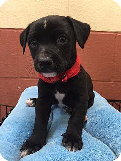 Terrier (Unknown Type, Medium) Mix Puppy for adoption in Maryville, Missouri - Milo