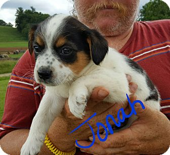 Australian Cattle Dog Mix Puppy for adoption in Albany, North Carolina - Jonah