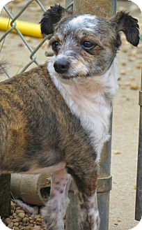 Terrier (Unknown Type, Small) Mix Dog for adoption in West Babylon, New York - Wizard