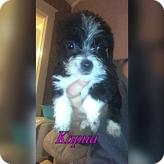 Chihuahua/Lhasa Apso Mix Puppy for adoption in Middletown, Ohio - Kapua