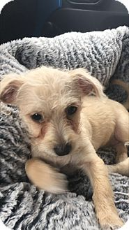 Terrier (Unknown Type, Small) Mix Puppy for adoption in Las Vegas, Nevada - Sophia