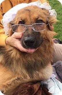 German Shepherd Dog/Great Pyrenees Mix Dog for adoption in Madison, Wisconsin - Elsa (medical hold, PA)