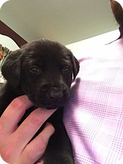 Labrador Retriever/Shepherd (Unknown Type) Mix Puppy for adoption in Parsippany, New Jersey - *ADOPTION PENDING* Ethel