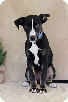 Labrador Retriever Mix Puppy for adoption in Waldorf, Maryland - Murry