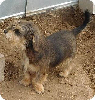 Petit Basset Griffon Vendeen Mix Dog for adoption in Pipe Creek, Texas - Willie
