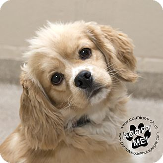 Cocker Spaniel Mix Dog for adoption in Troy, Ohio - Samuel- Pending Adoption