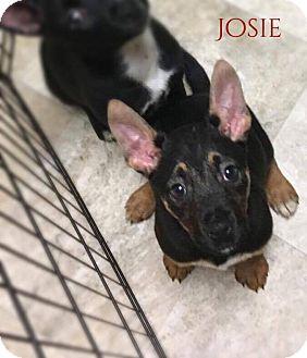Border Collie Mix Puppy for adoption in DeForest, Wisconsin - Josie