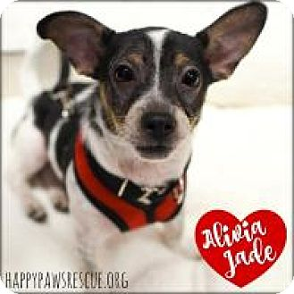 Chihuahua/Dachshund Mix Puppy for adoption in South Plainfield, New Jersey - Alivia Jade
