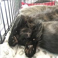 Adopt A Pet :: Balboa - Westland, MI