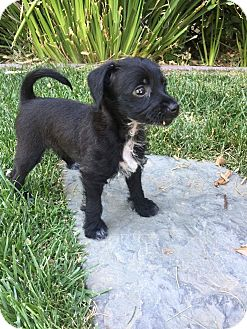 Miniature Pinscher/Terrier (Unknown Type, Small) Mix Puppy for adoption in Concord, California - Sophia