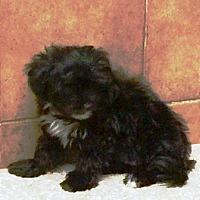 Adopt A Pet :: I'M ADOPTD Morkiepops CocaCola - Oswego, IL