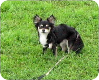 Chihuahua Dog for adoption in Ile-Perrot, Quebec - Sushi
