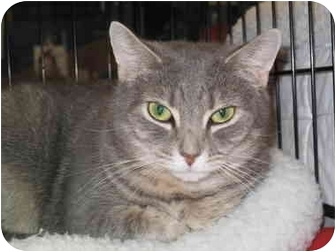Domestic Shorthair Cat for adoption in Port Republic, Maryland - Angelina