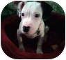 American Bulldog Mix Puppy for adoption in Marietta, Georgia - Lucia