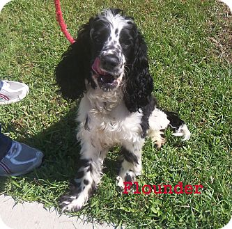 Cocker Spaniel Mix Puppy for adoption in Slidell, Louisiana - Flounder