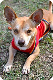 Chihuahua Mix Dog for adoption in Corpus Christi, Texas - Quinn