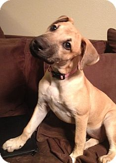 Labrador Retriever Mix Dog for adoption in Houston, Texas - Shelby