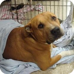 American Pit Bull Terrier/Mastiff Mix Dog for adoption in Las Vegas, Nevada - Kane