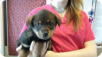 Rottweiler/German Shepherd Dog Mix Puppy for adoption in Sparta, New Jersey - Buxton