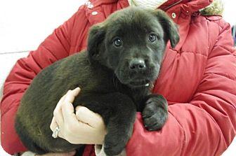 Labrador Retriever Mix Puppy for adoption in Elyria, Ohio - Renee