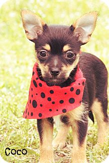 Chihuahua/Chinese Crested Mix Puppy for adoption in Cranford, New Jersey - Coco