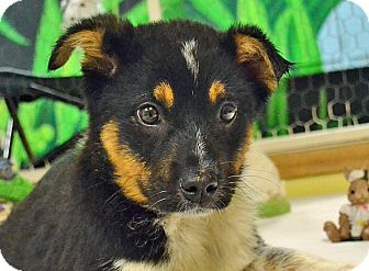 Blue Heeler Mix Puppy for adoption in Searcy, Arkansas - Pryor