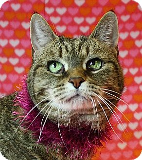 Domestic Shorthair Cat for adoption in Jackson, Michigan - Anna
