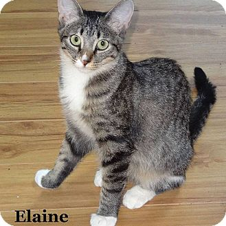 Domestic Shorthair Cat for adoption in Bentonville, Arkansas - Elaine
