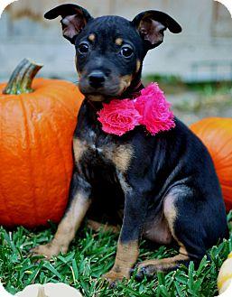 Beagle/Dachshund Mix Puppy for adoption in Irvine, California - Elvira