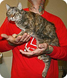 Domestic Shorthair Cat for adoption in Yucca Valley, California - Poinsettia Rosetta Rue