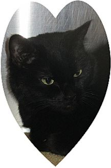 Domestic Shorthair Cat for adoption in Pueblo West, Colorado - Elizabeth