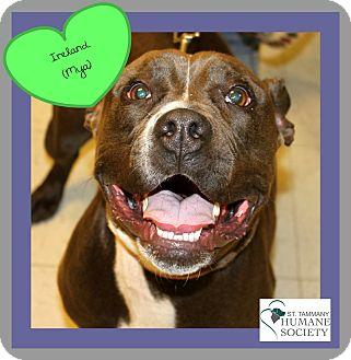 Pit Bull Terrier Mix Dog for adoption in Covington, Louisiana - Ireland