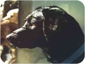 Hound (Unknown Type)/Sheltie, Shetland Sheepdog Mix Dog for adoption in Gloucester, Virginia - Acro