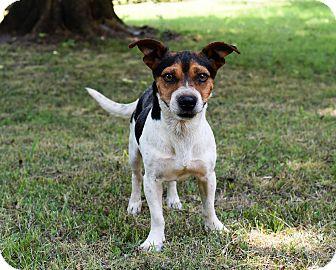 Feist/Beagle Mix Dog for adoption in Kittery, Maine - Wishbone