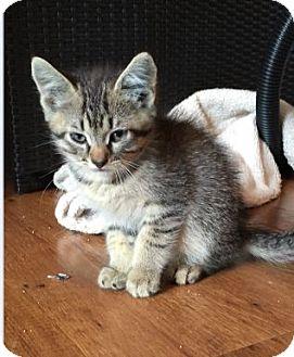 Domestic Shorthair Kitten for adoption in Des Moines, Iowa - Lane
